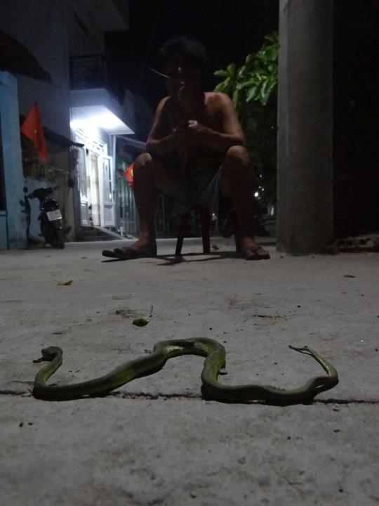 Rắn lục đuôi đỏ xuất hiện nhiều ở ven sông Sài Gòn khiến người dân lo lắng. Ảnh: CTV