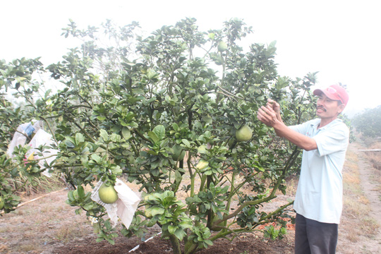 Từ vùng đất phèn nhưng do biết cải tạo, nhiều hộ dân ở xã Phạm Văn Hai, huyện Bình Chánh làm giàu từ việc trồng bưởi da xanh