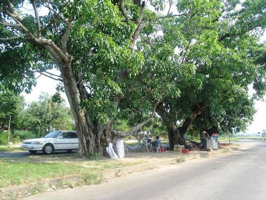 Ba cây sộp trên Quốc lộ 25 là nơi chứng kiến bao mối tình đơm hoa kết trái Ảnh: HỒNG ÁNH