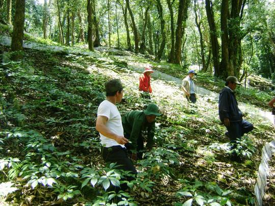 Một vườn sâm của người dân xã Trà Linh, huyện Nam Trà MyẢnh: NGUYÊN ĐĂNG