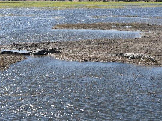 Cá sấu ở dọc sông Zambezi. Ảnh: Courier Mail