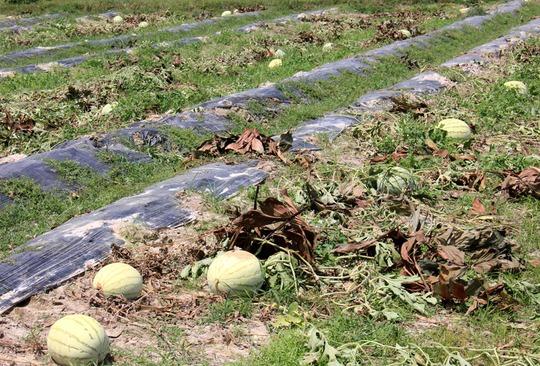 Rất nhiều ruộng dưa của bà con nông dân tỉnh Quảng Ngãi dù đến ngày thu hoạch nhưng thương lái không đến thu mua.