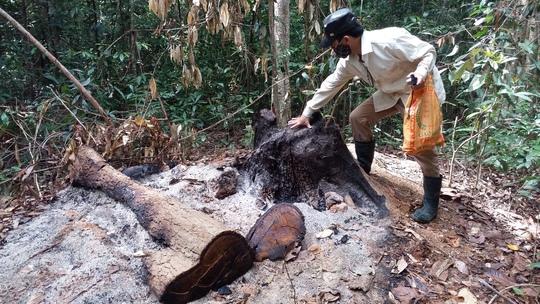 Một gốc cây gỗ hương lớn mới bị chặt hạ, đổ dầu đốt gốc để phi tang