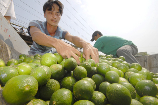 Ngoài các loại cây ăn trái ra, chanh cũng là loại trái cây được trồng quanh năm nhiều nhất như Đồng Tháp và Tiền Giang, Bến Tre… mỗi năm cho thu nhập từ 100-120 triệu đồng/năm/ha.