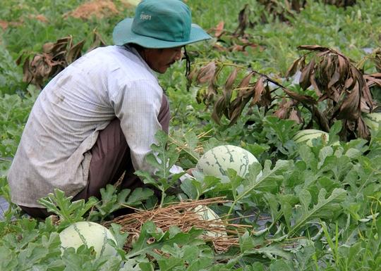 Nhiều ruộng dưa bị bỏ hư hỏng, chín rục ngoài đồng