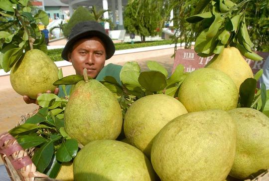 Vùng bưởi Năm roi ở Phú Hữu – Hậu Giang nhà vườn đang cho thu hoạch bán cho thương lái. Tuy nhiên, năm nay năng suất bưởi không cao nhưng bù lại bán được giá.
