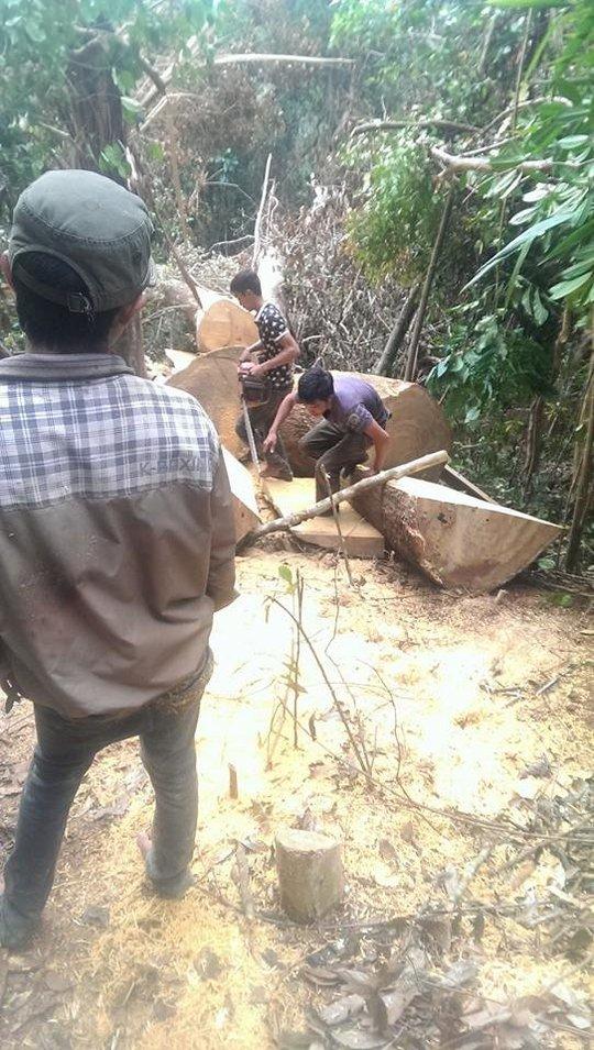Những hình ảnh khai thác gỗ được tung lên facebook