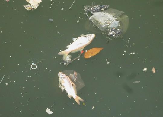 Cá chết bất thường và nổi rải rác trên mặt kênh Nhiêu Lộc – Thị Nghè