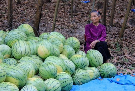 Không có thương lái thu mua, nhiều nông dân đem dưa đi bán lẻ gỡ lại ít vốn liếng.