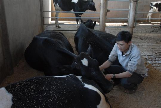 Dalat milk: Mỗi ngày đổ bỏ tới 4 tấn sữa