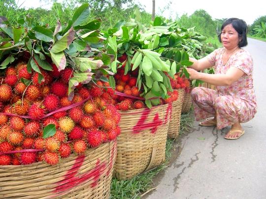Vùng cây ăn trái Chợ Lách – Bến Tre cũng vào mùa bận rộn thu hoạch chôm chôm.