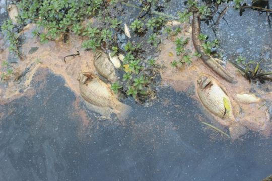 Nhiều loại cá chết bất thường, nổi trắng sông Bà Rén