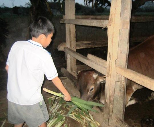 Ngoài đi học hàng ngày cháu Tuấn phải đi chăn bò giúp gia đình.