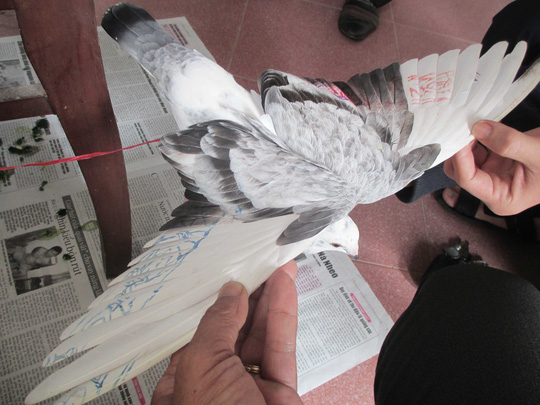 Một con chim bồ câu có ký tự lạ, chân đeo vòng kiềng do người dân bắt giữ được