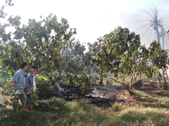 Vườn cây ăn trái của các hộ dân trong khu vực bị lửa táp héo khô