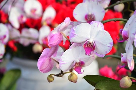 Hoa lan cũng đẹp mắt không kém đỗ quyên