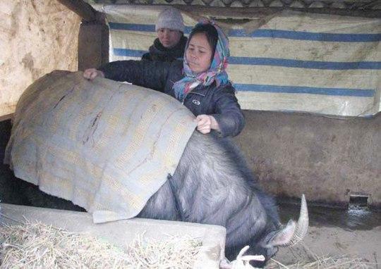 Người dân Bắc Hà (Lào Cai) chăm sóc trâu khi trời giá rét