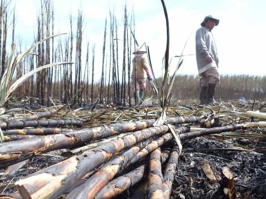 Người dân đau lòng thu vét những cây mía cuối cùng trên cánh đồng mía bị cháy