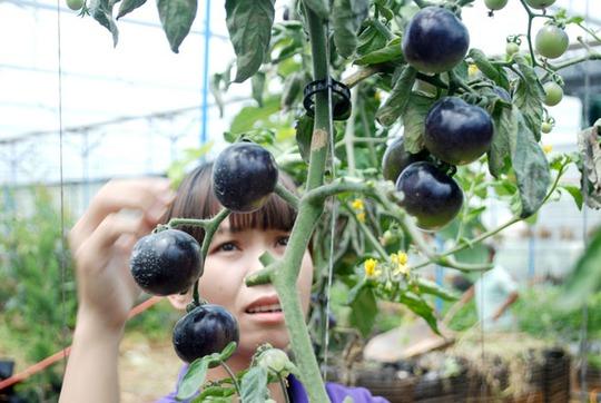 Cà chua đen Đà Lạt đến tay người tiêu dùng có giá lên tới 200.000 đồng/kg