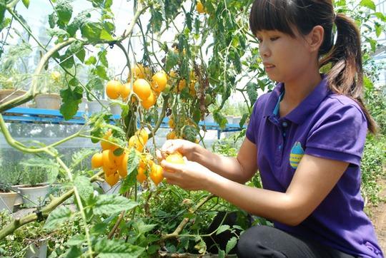 Các loại cà chua vàng và đen ra thị trường với số lượng rất ít