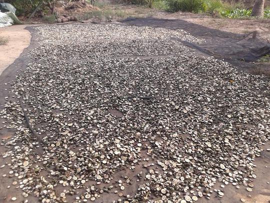 Cam non sắt miếng phơi khô của một hộ dân tại huyện Trà Ôn