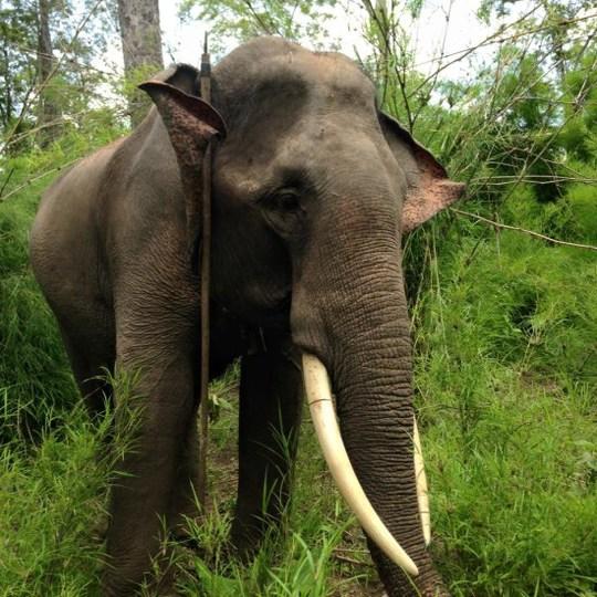 Ngà voi bên phải bị cưa gần đứt lìa. Ảnh cơ quan chức năng cung cấp