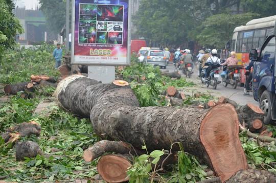 Nhiều cây cổ thụ bị chặt hạ bởi dự án đường sắt trên cao tại tuyến đường Nguyễn Trãi - Trần Phú (quận Hà Đông)