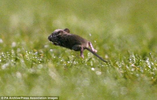 Ch1u chuột chạy trên sân Old Trafford ở FA Cup 2006