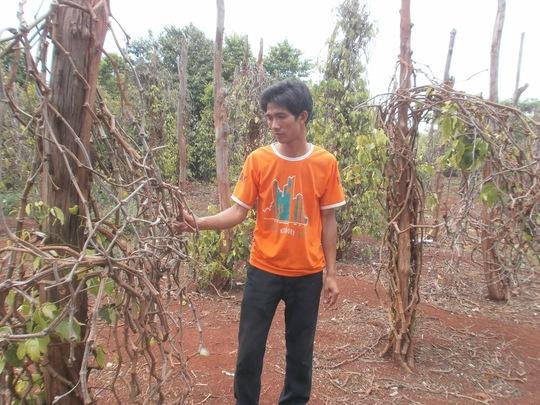 Nhiều vườn tiêu tại tỉnh Đắk Lắk bị chết hàng loạt Ảnh: Công Nguyên