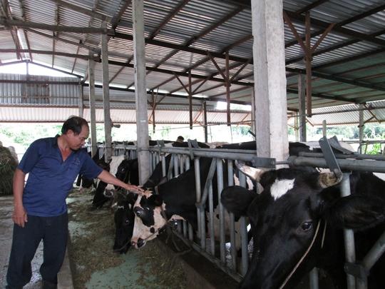 Nuôi bò sữa nông hộ tại huyện Củ Chi, TP HCM
