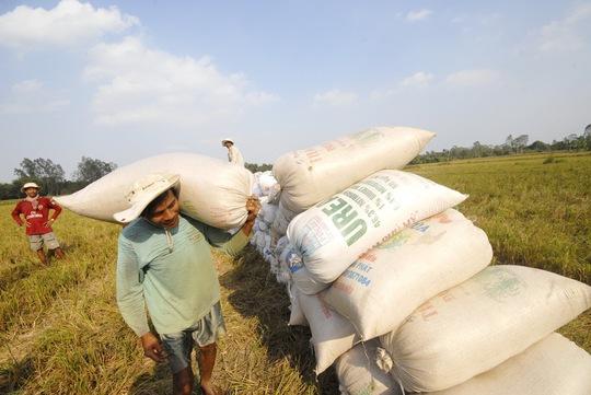 Nông dân ĐBSCL đang bước vào thu hoạch rộ lúa đông xuân Ảnh: NGỌC TRINH