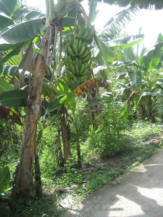 Những buồng chuối to trái được trồng ở những khu đất phù sa, có tầng mặt dày, tơi xốp và giàu dinh dưỡng