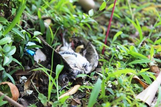 Chim chết la liệt trong ngày phóng sinh