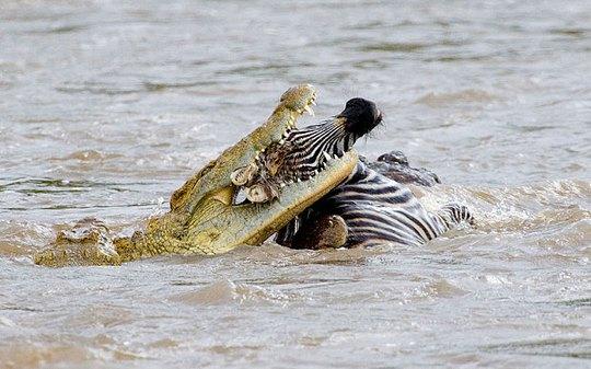 Cá sấu ăn thịt một con ngựa vằn. Ảnh:Alamy