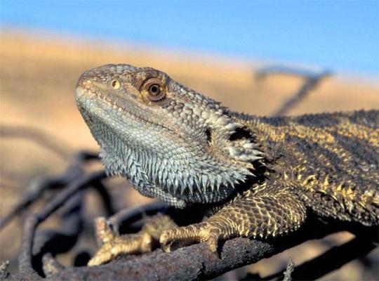 Rồng Úc chuyển đổi giới tính để sinh tồn. Ảnh: AP