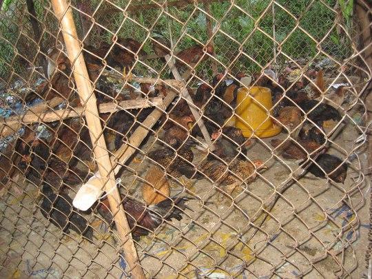 Nhiều con gà ủ rũ được nhốt vào chuồng chuẩn bị làm thịt vào rạng sáng mùng 3