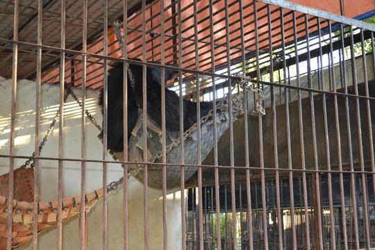 Một chú gấu đang được chữa bệnh để trả về với tự nhiên say sưa ngủ trong chuồng