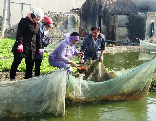 Cá được bắt từ ao lớn đưa vào trong lưới trống trước vài ngày