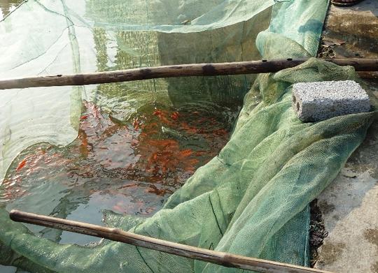 Cá được đưa từ ao lớn vào lưới trống trước ngày Tết ông Táo vài ngày