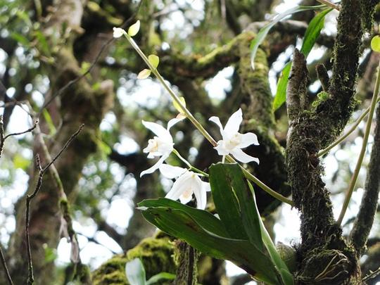 Đóa lan trắng muốt trong rừng nguyên sinh