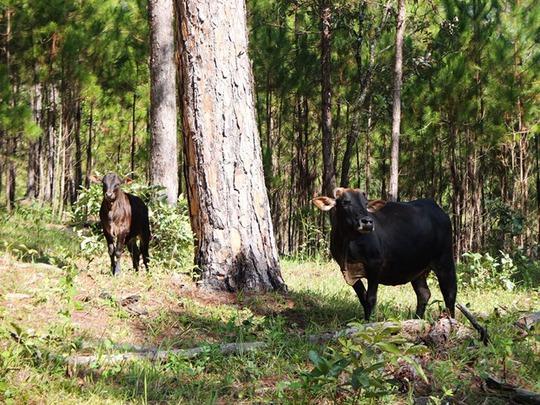 Những chú bò ngơ ngác giữa rừng thông