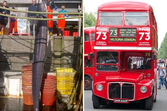 Chiều dài con lươn được so sánh với xe buýt 2 tầng