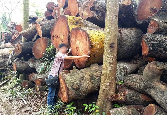 Khúc gỗ có đường kính bằng cả sải tay người