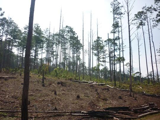 """Vụ """"Tàn phá rừng thông"""": """"cháy nhà"""" lòi mặt... bảo vệ!"""