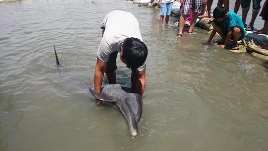 Sức khỏe của cá đã rất yếu nên người dân thả ra nó lại quay vào bờ