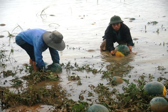 Nông dân vớt dưa hấu từ những cánh đồng ngập nước
