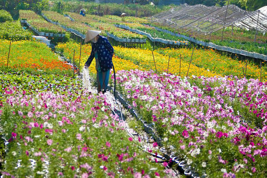 Nông dân làng hoa Sa Nhiên, Sa Đéc, tỉnh Đồng Tháp tẩn mẩn chăm sóc hoa cho lễ hội ẢNH: