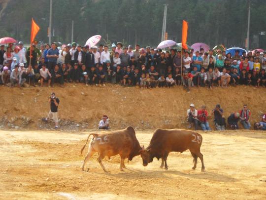 Lễ hội chọi bò tưng bừng ở Mèo Vạc