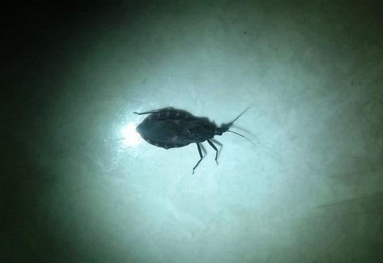 Bọ xít hút máu xuất hiện từ lâu, nhưng do người dân không biết nên hoang mang. Chưa có nguyên cứu loại bọ này gây bệnh cho con người.