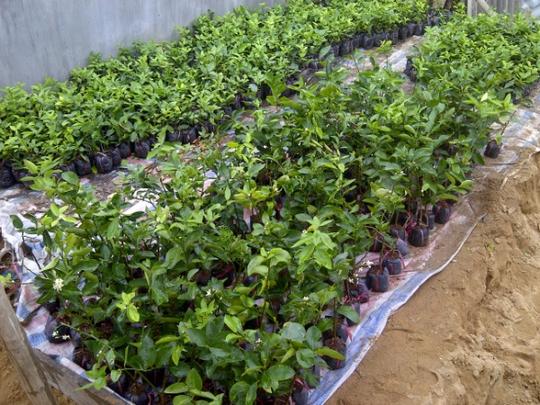 Chính vì thế, giá chanh giống cũng đang ở mức cao từ 14.000- 18.000 đồng/cây. Ảnh: Công Tuấn